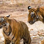 India's Tiger – A phoenix rising thanks to tourism