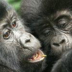 Tracking mysterious mountain gorillas in Uganda