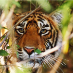 Tiger update from India