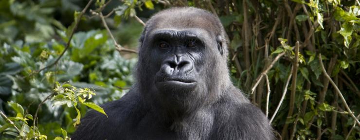 Tracking gorillas in Africa: Part 2