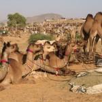 Festival spotlight – the Pushkar Camel Fair, Rajasthan