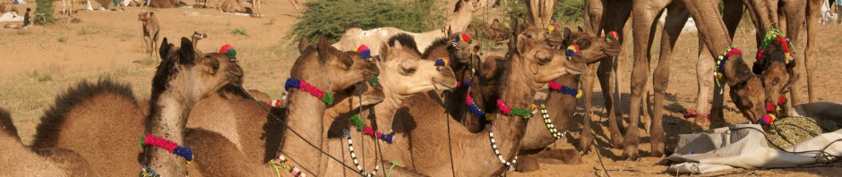 Festival spotlight – the Pushkar Camel Fair, Rajasthan