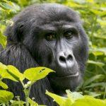 Gorilla tracking in Africa