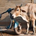 'Holy Cow'; a journey through South Asia