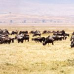 The Great Wildebeest Migration begins in Kenya