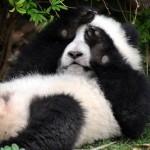 Giant Pandas – the Chengdu Research Base