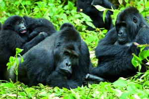 Group of Gorillas in Udanga