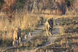 The Dambwa pride walking through the park
