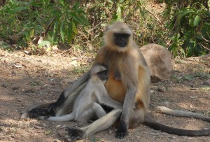 Monkeys in Panna National Park, India