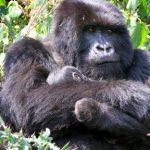 Amongst the mountain gorillas