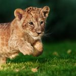 Protecting the future generations of the African lion