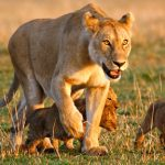 Protecting new generations of the African Lion