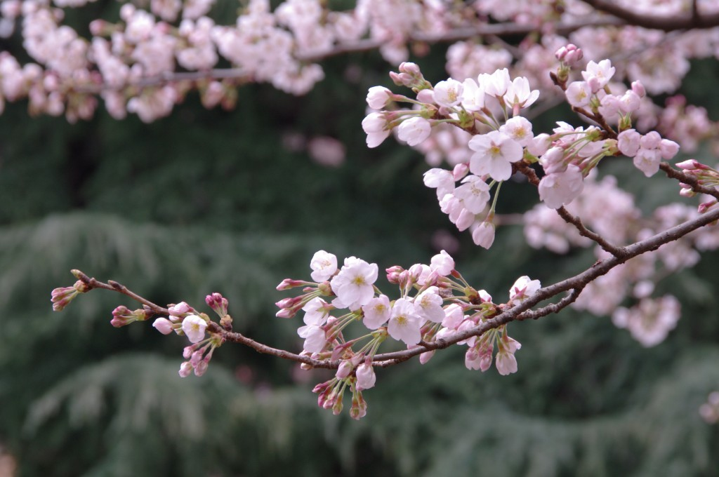 See cherry blossoms in Japan