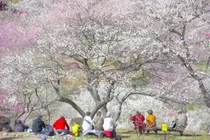 Cherry Blossom Festival, Japan