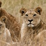 Thirteen is a lucky number for lion conservation in Africa