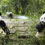 Great Wall & Pandas