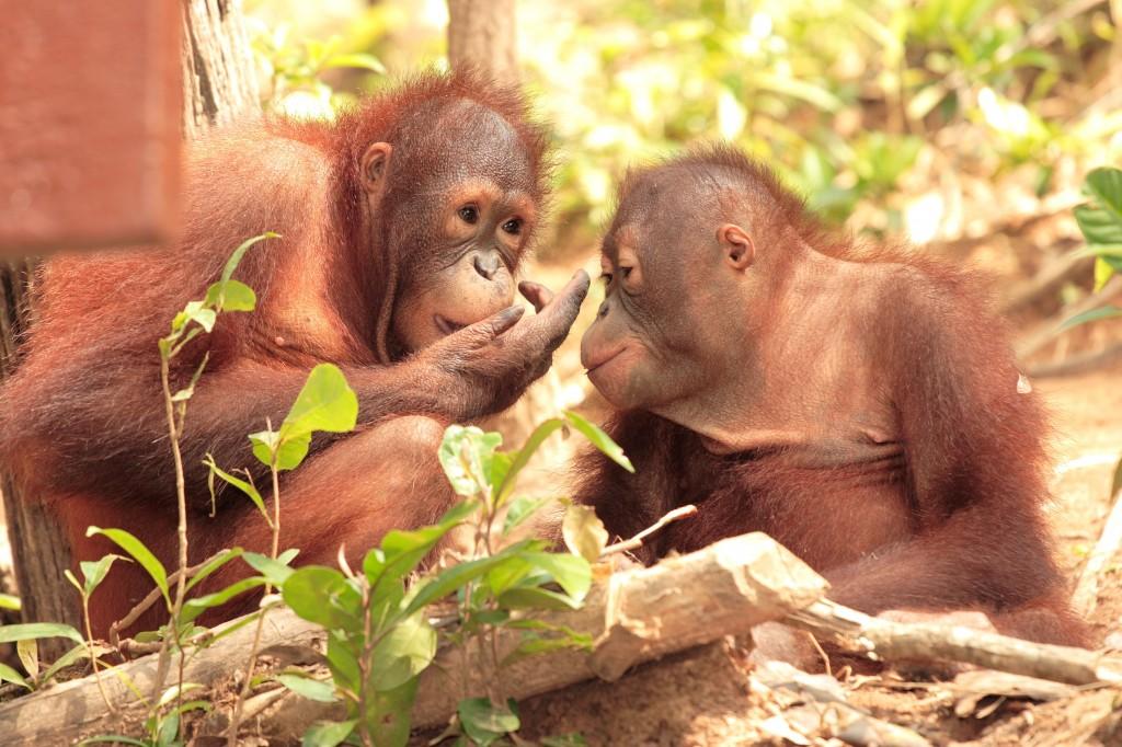 See orangutans at the Sepilok Orangutan Sancutary in northern Borneo