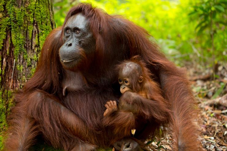 Orangtuans in Borneo