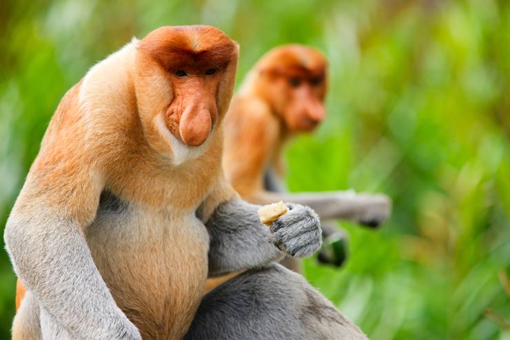 Wildlife of Borneo - proboscis monkey