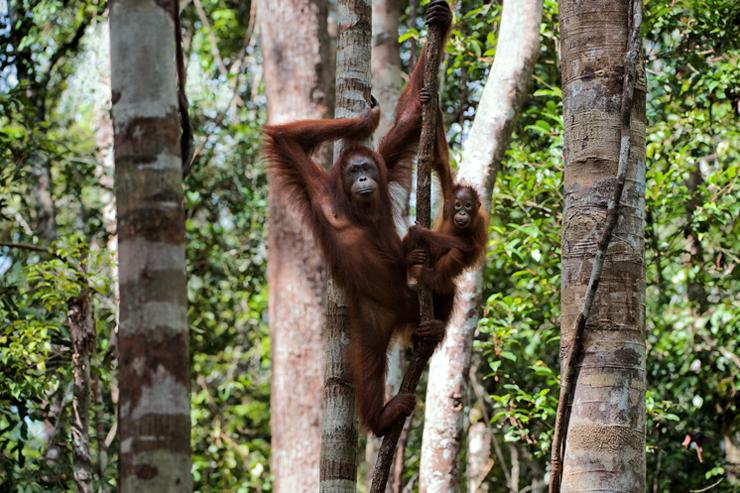 Wildlife of Borneo - orang-utan