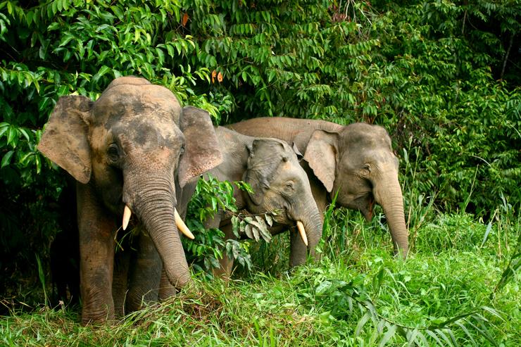 Wildlife of Borneo - pygmy elephant
