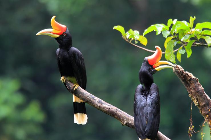 Wildlife of Borneo - Rhinoceros hornbill