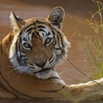 The Tigers of the Wild Tiger Challenge