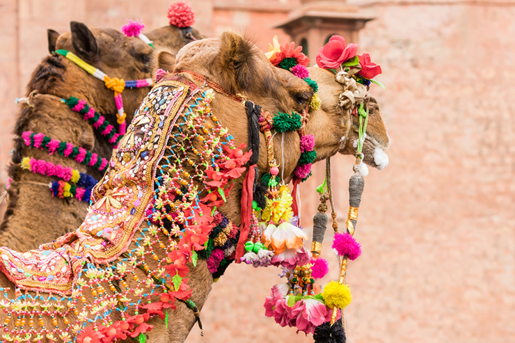 Decorated camels at the Camel Fair - things to do in Rajasthan
