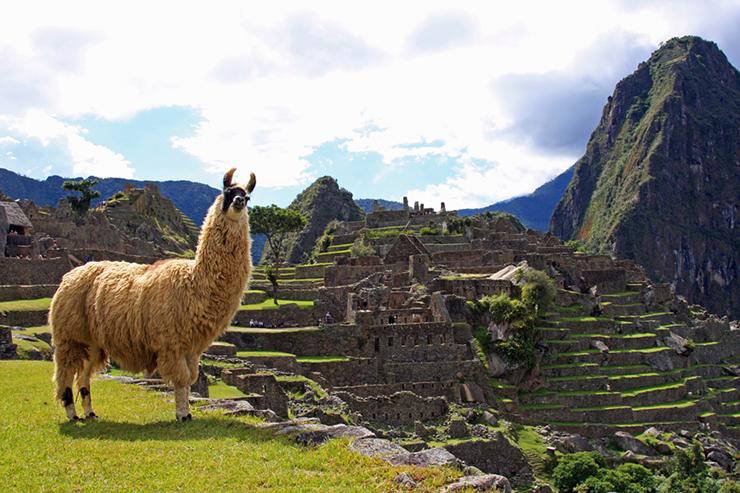 Llama - the camelids of Peru