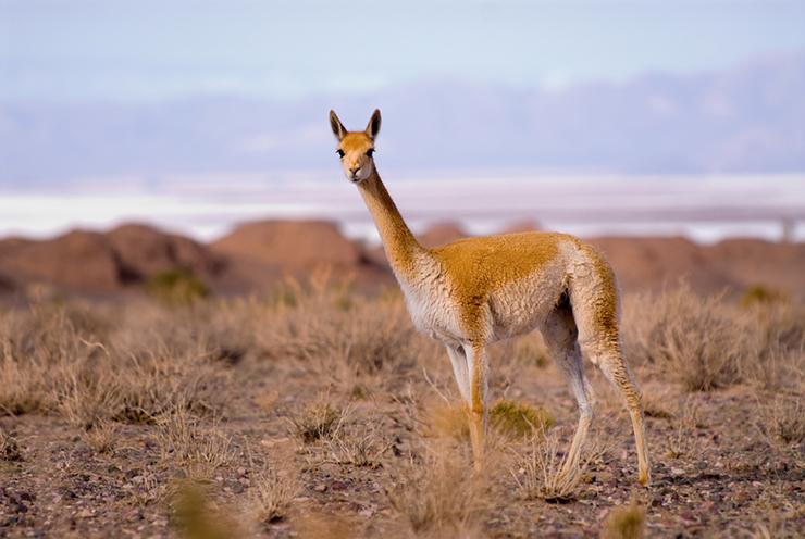 Vicuna - the camelids of Peru