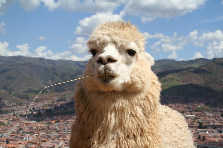 Alpaca - the camelids of Peru