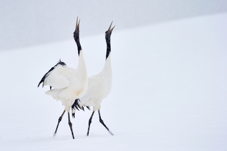 The red crowned cranes are a great reason to visit Japan in winter