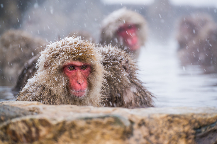 Japanese Macaque bathing in hot springs - a reason to visit Japan in winter