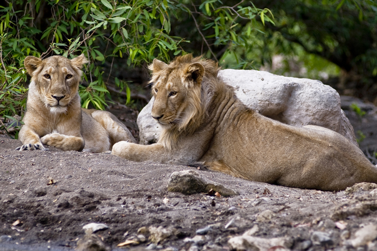Gir National Park - where to go on a wildlife holiday in India