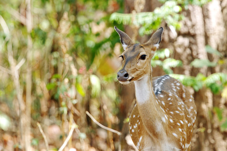 Cheetal deer in Corbett National Park - where to go on a wildlife holiday in India