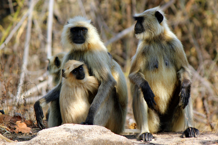 Langurs in Bandhavgarh NP - where to go on a wildlife holiday in India
