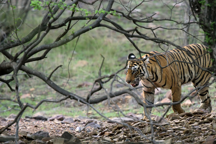 Ranthambore National Park - where to go on a wildlife holiday in India