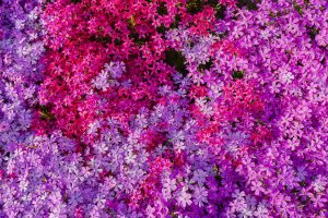 Colours of the Phlox Moss