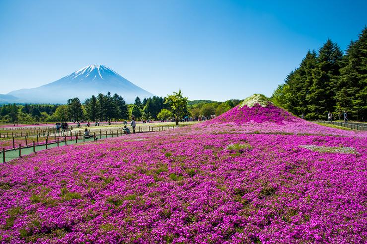 Flower display at the Phlox Moss Festival, Japans spring flower festival
