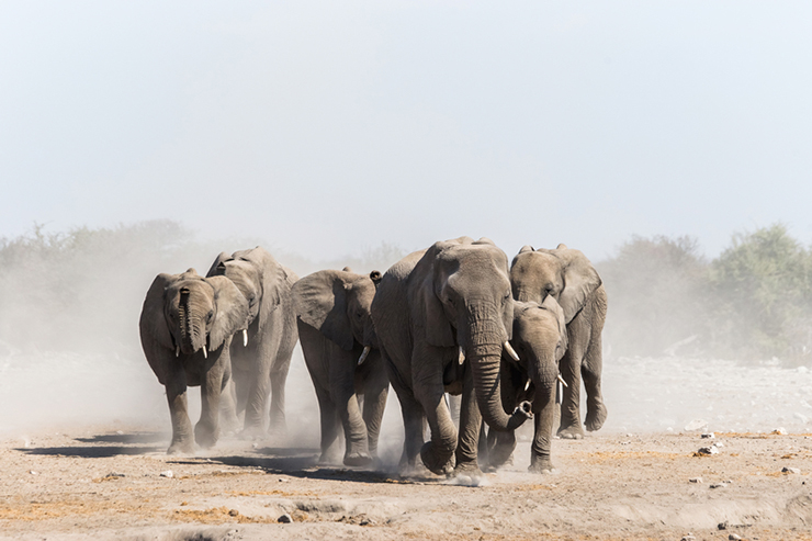 Herd of wild elephants in Etosha national park Namibia, one of the best destinations to see elephants
