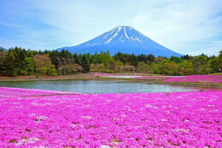 Phlox Moss at the food of Mount Fuji in Japan