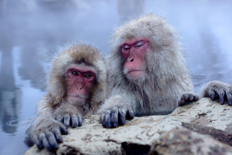 Snow monkeys bathing in hot springs, a unique cultural experience in Japan