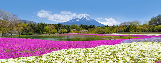 Phlox Moss and Japan's Unknown Flower Festival