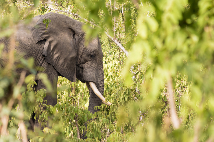 Wild elephant among the bushes in Selous Game Reserve, Tanzania, one of the best destinations to see elephants