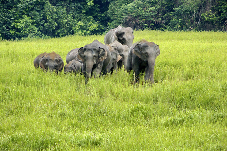 Wild elephants in Khao Yai National Park, Thailand, one of the best destinations to see elephants