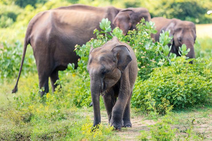Wild elephants in Sri Lanka, one of the best destinations to see elephants