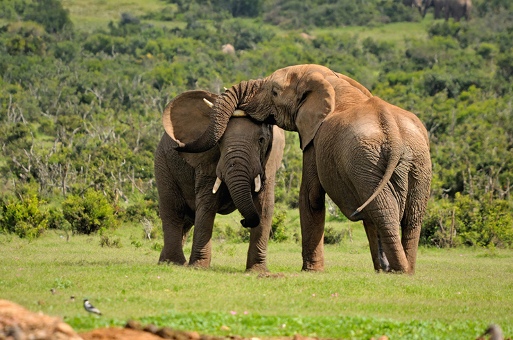 Wild elephants playing in Addo National Park South Africa, one of the best destinations to see elephants