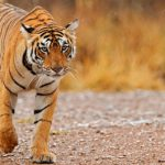 10 Tips for Visiting India's Tiger Reserves