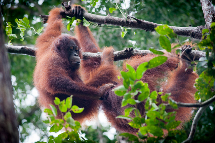 Two orangutans in Borneo, one of the best family holiday destinations