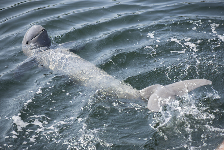 An Irrawaddy dophin swimming